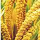 粮食作物种子