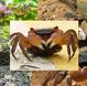 宠物蟹、观赏蟹