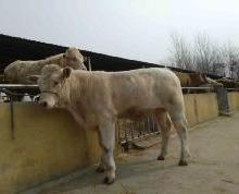供应巴彦淖尔的牛大概多少钱一头,巴彦淖尔肉牛养殖基地,巴彦淖尔养殖肉牛商家图片