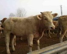 供应上海肉牛养殖技术视频,上海肉牛养殖商家电话,上海肉牛养殖基地图片