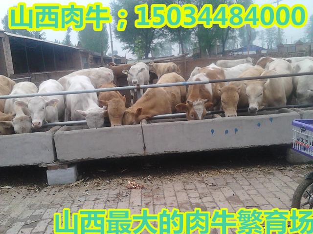 青海养牛场