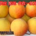 供应用于砀山黄桃销售的临沂黄桃原料基地