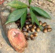 供应赤皮青冈(红椆木)种子