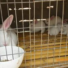 供应用于作种的种兔价格我国肉兔业存在的问题