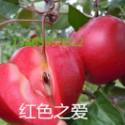 用于地载的红色之爱.红壤苹果  山东红壤苹果  红壤苹果报价   红壤苹果种植基地