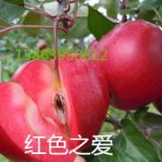 红色之爱.红壤苹果图片