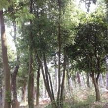 供应用于园林绿化的精品湖北丛生香樟多杆香樟骨架移栽香樟15971589128崔