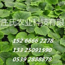 供应用于经济作物的黄瓜苗批发