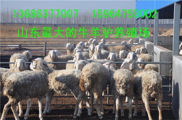供应用于小尾寒羊的山东小尾寒羊养殖场哪里的小尾寒羊价格便宜