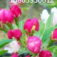 青山一号海棠.草莓果冻海棠.冬红果图片