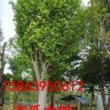 木瓜大树.朴树.古树.桂花大树图片