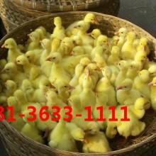 供应用于养殖的江苏鹅苗价格批发