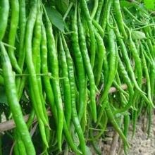供应用于的辣椒价格辣椒产地辣椒品种辣椒加工