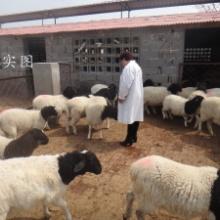 供应用于的辽宁省养50只杜泊羊大约需要多少钱,哪里有杜泊羊养殖场?批发