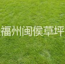 供应用于铺种的福建草坪@草皮大量出售@质优价廉批发