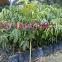 大腹木棉苗价格图片