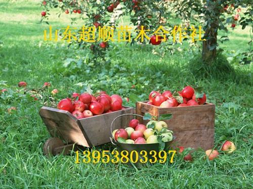 富苹果树苗新品种