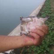 安徽生态甲鱼苗养殖厂出售价格图片