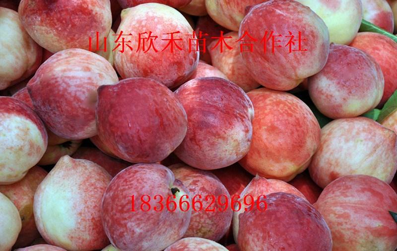 冬雪王桃树苗 桃树苗价格 桃较重要的变种有:油桃、水蜜桃、蟠桃、寿星桃、碧桃。其中油桃和蟠桃都作果树栽培,寿星桃和碧桃主要供观赏,寿星桃还可作桃的矮化砧。树高4~5米。一年生枝条红褐色。叶多呈披针形,叶缘有锯齿,叶柄基部常生蜜腺。 冬雪王桃树苗,花型有蔷薇型和铃型两种。核果除蟠桃外,多为圆形或长圆形,果面除油桃外,均布有茸毛。果肉白、黄色或夹红晕,少数呈红色;肉质柔软、脆硬或密韧;核表面具不同沟点纹路,均为种和品种群的重要分类依据。 山东泰安欣禾苗木有限公司位于华北地区著名的苗木之乡山东泰安开发区,北依泰