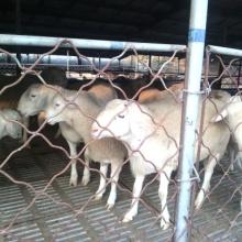 供应白山羊批发