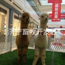 供应黑龙江哪里有卖羊驼的批发