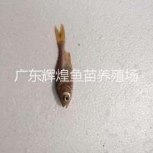 江苏金色胖头鱼供应商,金色鳙鱼价格,山东金色鳙鱼,金鳙鱼养殖技术