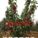 芭蕾舞海棠基地.贵人果.红壤苹果图片