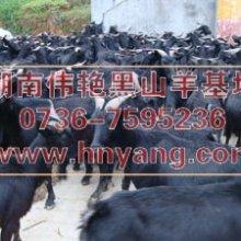 供应用于伟艳黑羊基地的农村养黑山羊种羊预防难产技术批发