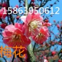 红叶樱花图片