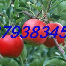 大量订购山东园艺场批发各种品种苹果树苗润太一号柱状苹果树苗批发