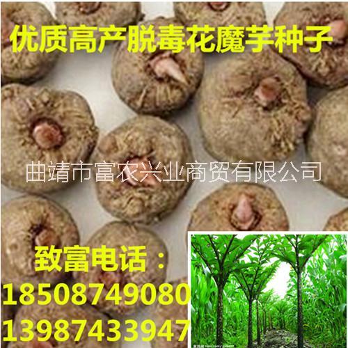 供应资阳魔芋种子供应商,魔芋种子,资阳魔芋种子、资阳魔芋种子价格、资阳魔芋种子批发、资阳魔芋种子报价