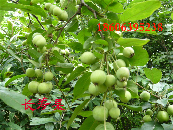 长寿果果树苗,冬红小苗,冬红果批发