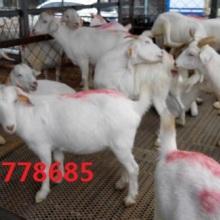 供应白山羊,白山羊报价,白山羊销售,白山羊供商批发