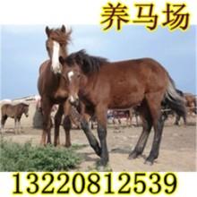 供应用于养殖的新干县养马场蒙古马多少钱一匹图片