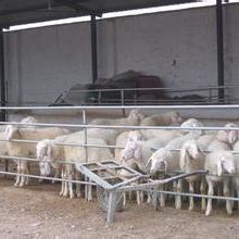 供应用于养殖的供应小尾寒羊图片