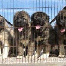 供应用于赚钱的湖南湘潭今年最火爆项目肉狗养殖图片