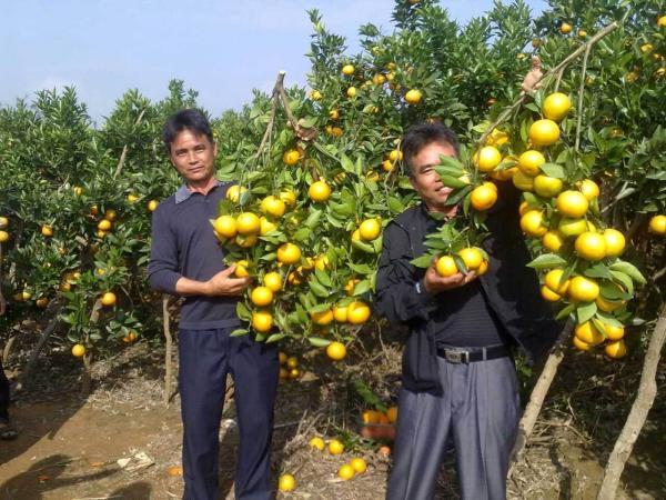 供应用于种植的南瓜橘果苗南瓜橘种植基地