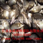 安岳罗非鱼丰产鲫鱼苗水花商品成鱼图片