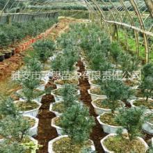 供应用于净化空气|南方红豆杉|室内绿植的南方红豆杉、曼地亚红豆杉盆景批发