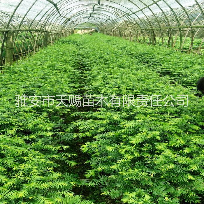 供应用于净化空气|南方红豆杉|室内绿植的南方红豆杉树苗 杯苗小苗盆栽苗