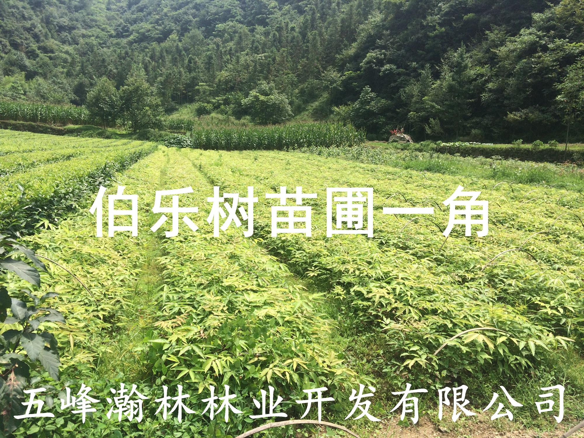 湖北五峰瀚林供应伯乐树种子