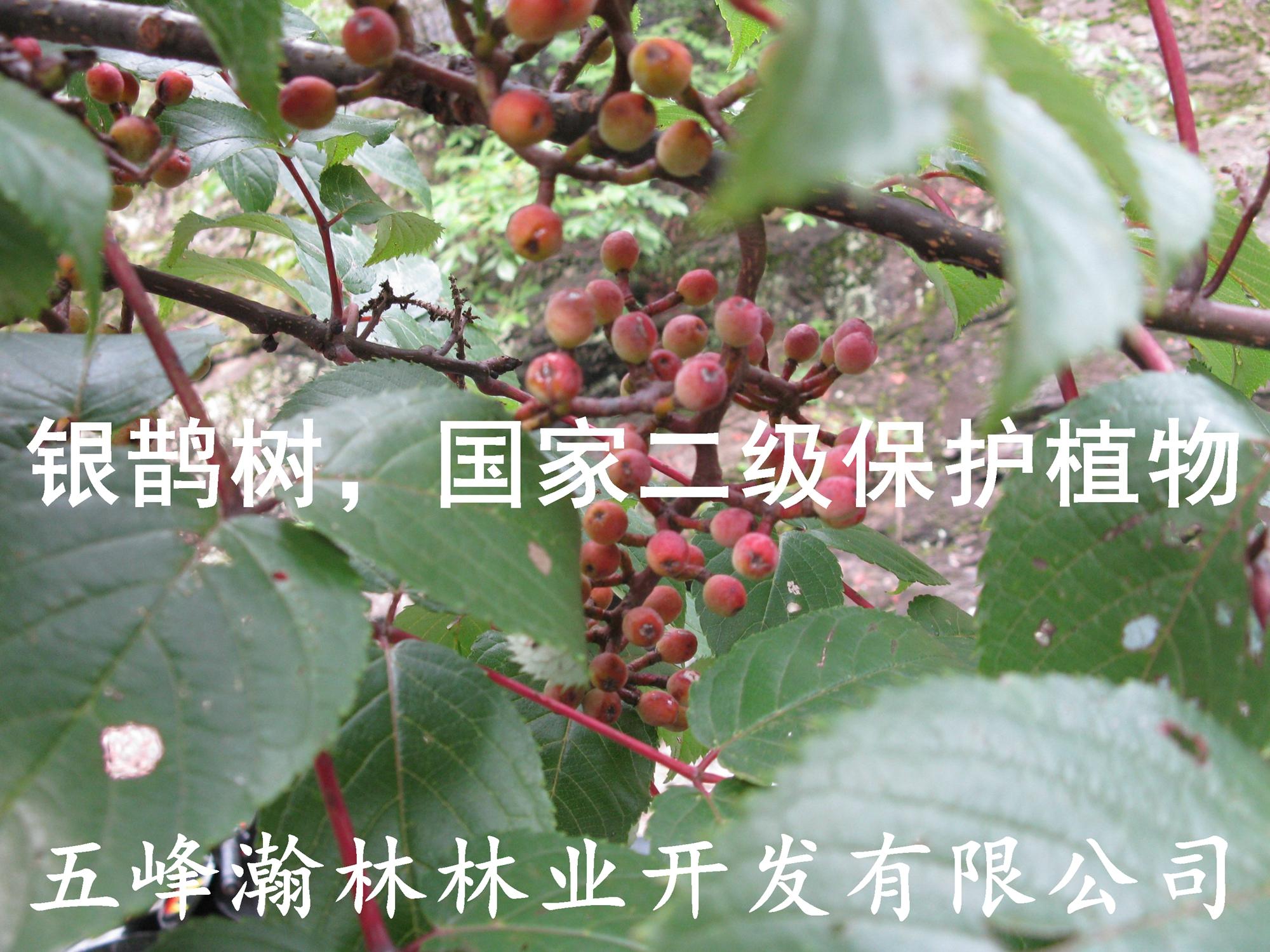 供应银鹊树苗,瘿椒树苗,孑遗植物,稀有种,省沽油科