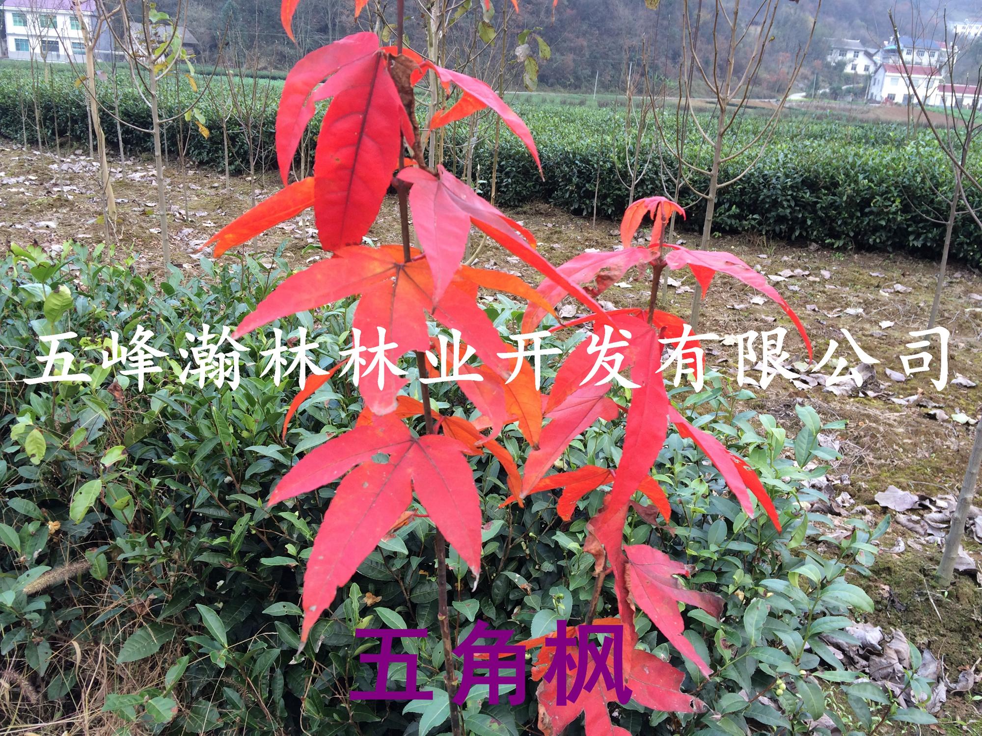 青枫树种子,青枫树种子批发出售销售