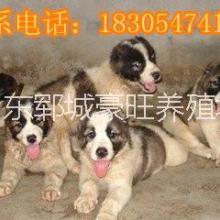供应用于赚钱的广东汕尾今年最火爆项目肉狗养殖图片