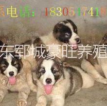供应用于赚钱的湖北黄石今年最火爆项目肉狗养殖图片