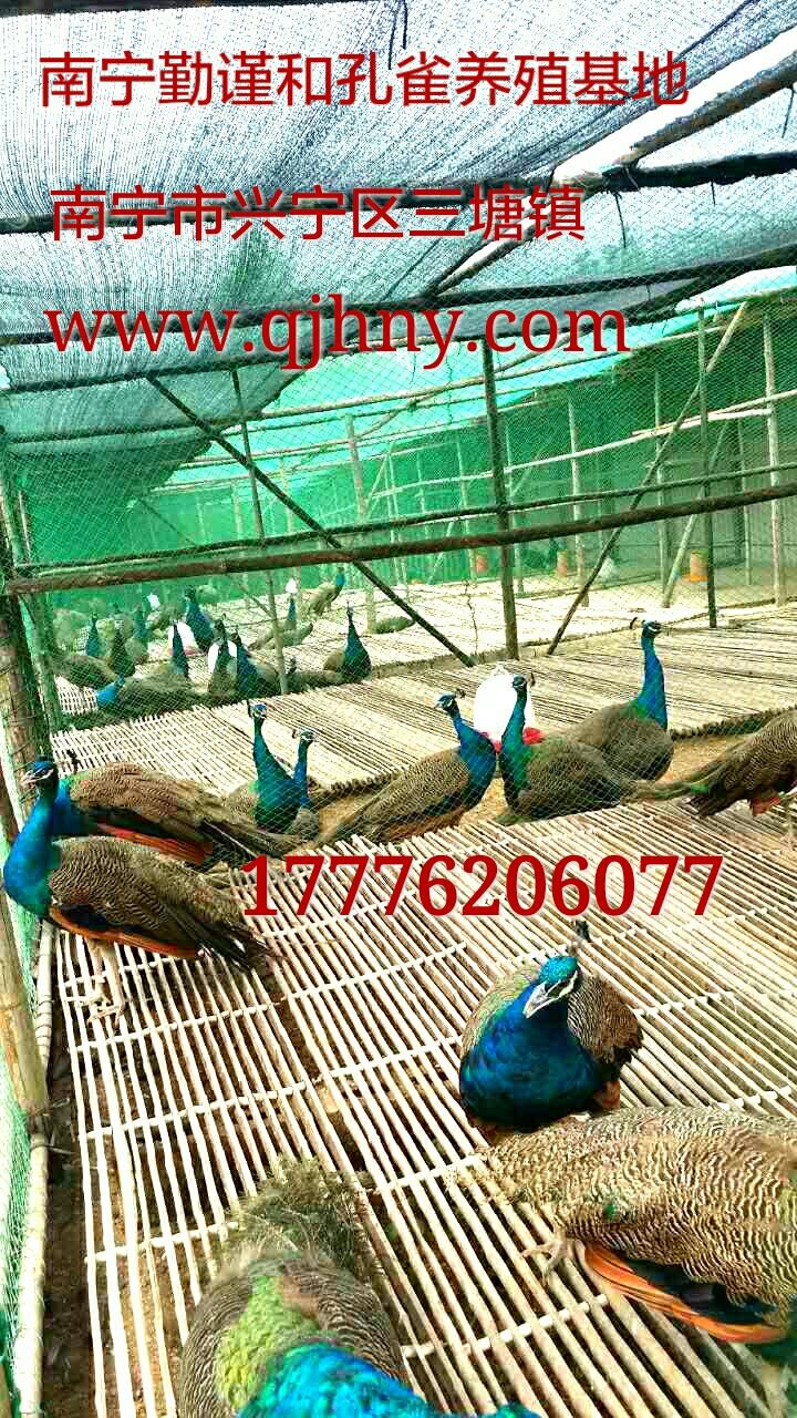 供应广西孔雀-广西孔雀苗-广西孔雀养殖技术