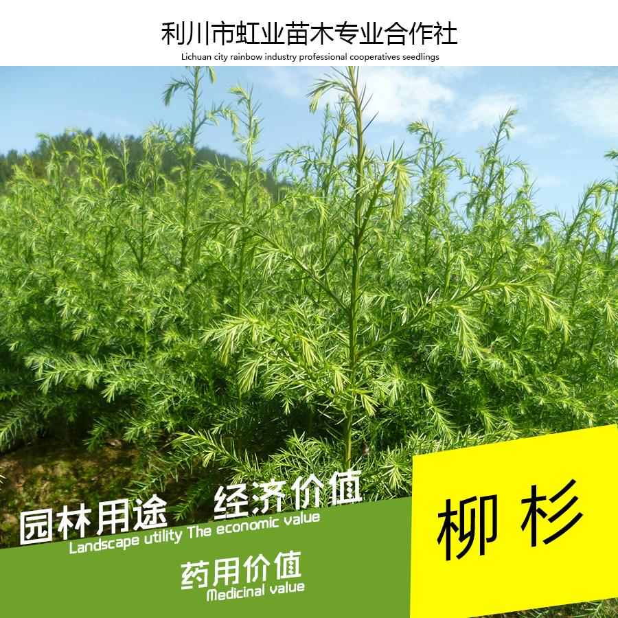 供应水杉树小苗/利川30-40公分水杉树小苗