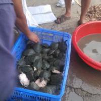 供應用于的江蘇中華鱉甲魚苗養殖基地批發價格/中華鱉批發價格多少