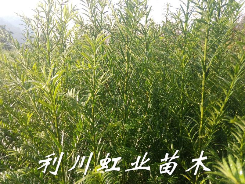 供应1米左右红豆杉苗/湖北利川1米左右红豆杉苗