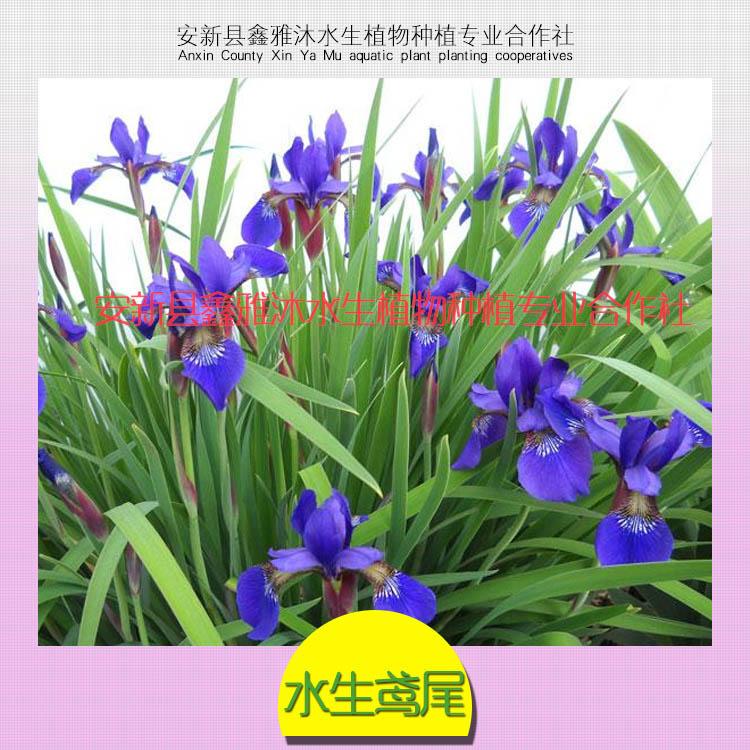 供应同川鸢尾种植,优质鸢尾种苗,鸢尾种苗减肥,鸢尾销售价格。